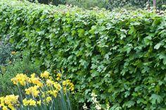 Field Maple • Acer campestre • Plants & Flowers • 99Roots.com