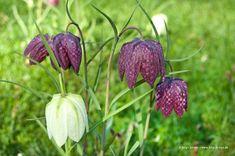 schachbrett-tulpen auf gruener wiese I © birgit kolmer I biko-d-sign.de