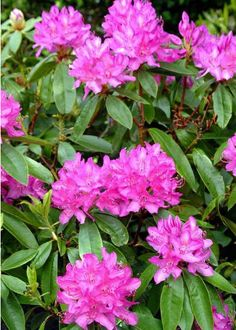 Rododendros