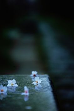 """""""In my dream / Seeing cherry petals blowing in the spring wind / And I feel butterflies in my stomach / Even now I'm wide awake."""" Haiku by Saigyo (1118-1190)"""