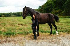 17.2h Flashy Black Dutch Warmblood Gelding   Buy this Horse at Equine.com