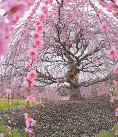 200 years old Ume plum tree at Suzuka Forest Garden Japan Fast Crazy Nature Deals. Flor Magnolia, Cherry Blossom Season, Cherry Blossoms, Plum Tree, Unique Trees, Forest Garden, Jolie Photo, Spring Is Here, Parcs