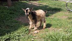 Dill's GA King Arthur *B - Nigerian Dwarf Goat owned by Susurrare Salix (Whispering Willow)