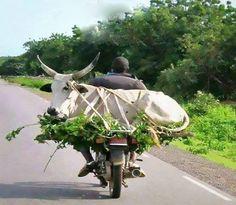 Cow transport