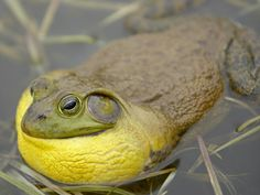 The bullfrog is one of the world's largest frogs and the biggest in North America. Its deep hoarse call is louder than that of any other species of frog. Next is a toad that uses leaves as camouflage. Reptiles And Amphibians, Mammals, American Bull, Funny Frogs, Frog And Toad, Exotic Pets, Cute Animals, Creatures, Pictures