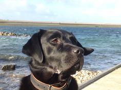 Guus (black labrador), Koepeltje maart 2015