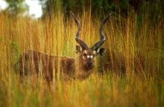 The sitatunga is Africa's only  true amphibious antelope