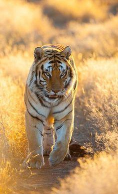♂ Wildlife photography animals Amazing tiger