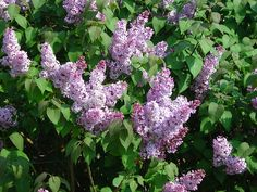 ragrant Lilac Syringa vulgaris Light Purple or Lavender Flowers Garden Flower because of Long-Lasting Blooms Early Spring Blooming Extremely Hardy Shrub Often Used for Hedges, Screens, or Individual Landscape Shrub Grows 8 to 15 High with a 6 to 12 Spread Lavender Flowers, Purple Flowers, Flowers Garden, Trees And Shrubs, Trees To Plant, Rosen Beet, Arbor Day Foundation, Syringa Vulgaris, Lilac Tree