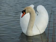 Swan-Beautiful animals! My newest animal obsession!
