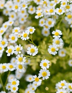 Feverfew (Tanacetum parthenium) | We tested the best easy-care varieties of flowers for cutting and using in stunning bouquets. Here are our favorites, chosen for their long bloom times, tall stems, and ample vase life