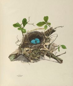 https://flic.kr/p/ae9ZXE | n60_w1150 | Illustrations of the nests and eggs of birds of Ohio. v.1. Circleville, Ohio, U.S.A. :[s.n.],1886 biodiversitylibrary.org/page/34907547