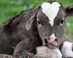 Please sign and share this petition worldwide to stop the shocking abuse of cows and calves in... (20229 signatures on petition)