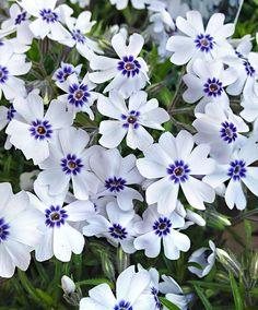 Creeping Phlox 'Bavaria'   Plants from Bakker Spalding Garden Company