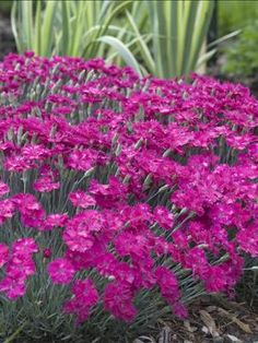 26 best dianthus love images on pinterest flower beds gardens and neon star dianthus dianthus perennial pinksdianthus flowersflowers mightylinksfo