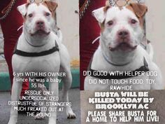 TO BE KILLED 4/8/2015- BUSTA A1032044- DEAD DOG WALKING. FREAKED OUT AND CONFUSED, THIS IS GORGEOUS BUSTA WHO WAS SOMEONE'S TREASURED PET UP UNTIL HIS SURRENDER. BUSTA WAS HER BABY SINCE HE WAS A PUP, AND ALL HE HAS KNOWN IS HIS MOM, NO ONE ELSE. SHES MOVING TO A NO PETS PLACE AND SURRENDERED HIM. https://www.facebook.com/mldsavingnycdogs/photos/a.221051654747779.1073741876.112453902274222/263329467186664/?type=3&theater