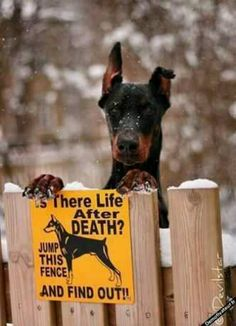 Doberman Pinscher. Funny guard dog sign
