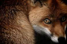 Fox via the National Geographic Photo Contest