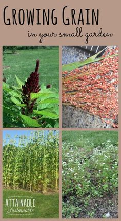 You can grow gluten free grains like amaranth, buckwheat, and sorghum right in your backyard.: