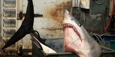 Record-Breaking Mako Shark Tips Off Conservation Debate | Aquademica