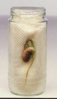 La germination - cycle de vie des plantes - Le petit cartable de Sanleane