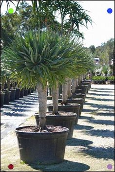 Lawn and Garden Tools Basics Welcome to Dragon Trees Australia Palm Trees Landscaping, Tropical Landscaping, Tropical Garden, Tropical Plants, Backyard Landscaping, Desert Plants, Balcony Plants, Outdoor Plants, Garden Planters