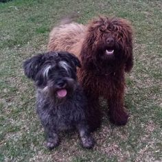 Meet Coco the Schnauzer and Pop the Labradoodle.  - - #thathair #somuchfur #schnauzer #schnauzersofinstagram #labradoodle #labradorcrosspoodle #dogstagram #dogsofinstagram #waggadogs #petsitting #pets #petminding #howispendmyfridaynights #suzspetservices - http://ift.tt/1HQJd81
