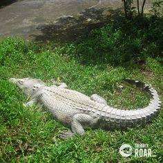 A Tour at Jong's Crocodile Farm, Sarawak, Malaysia #asia #malaysia #sarawak #crocodile #farm #travel #mustsee #tourism
