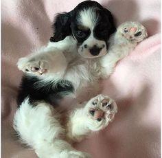Cocker Spaniel puppy surfing in his dreams.