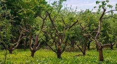 Nyári zöldmetszés – Mikor, hogyan és miért végezzük el a gyümölcsfák zöldmetszését
