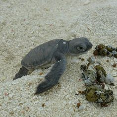 Baby Sea Turtle reaching a few obstacles