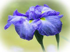 Online Contest - Flowers
