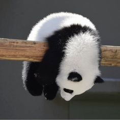People love Pandas they are like babies. They are cute and cuddly.But do you know that a giant panda is actually a bear. Here are Interesting Fun Facts About Panda You Probably Didn't Know Before. Funny Panda Pictures, Cute Animal Pictures, Baby Pictures, Cute Little Animals, Cute Funny Animals, Baby Panda Bears, Baby Pandas, Panda Babies, Red Pandas