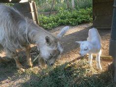 Gina hófehér Mazsola leánykája egy naposan Goats, Animals, Animales, Animaux, Animal, Animais, Goat
