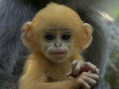 Nova espécie de macaco com juba é encontrada na África