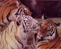 tigers are my favorite animal, and this picture is amazing.