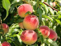 Pěstování broskvoní: otužilé odrůdy plodí i v podhůří