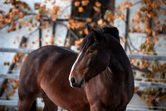 Noriker Lorentino in golden autumn Horses, Autumn, Animals, Mountains, Animales, Fall Season, Animaux, Fall, Animal