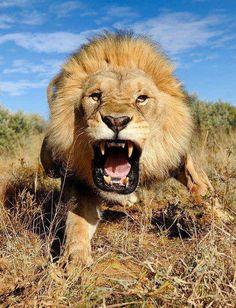 Boze leeuw in de Kalakari woestijn, Afrika