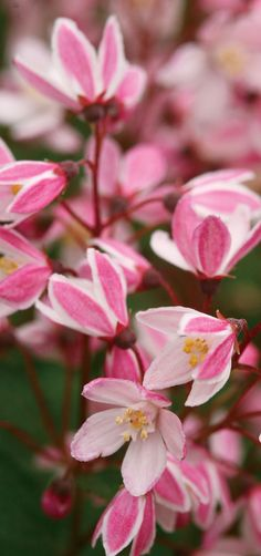 52 best pink plants images on pinterest in 2018 pink plant yuki cherry blossom deutzia is a wonderful way to greet spring this petite plant loves mightylinksfo
