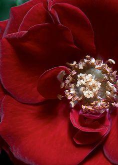 #red #rose