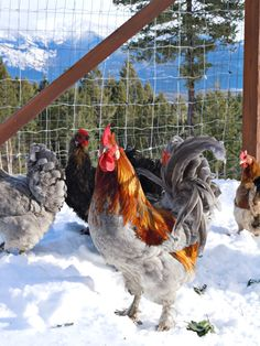 Hedemora; a very cold hardy bird from Sweeden (has fluffy down feathers) | Greenfire Farms