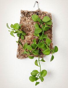 Epiphytic Cork Wall Plaque Dischidia and Hoya