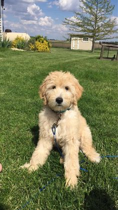 I love my goldendoodle Cute Dogs Breeds, Cute Dogs And Puppies, I Love Dogs, Pet Dogs, Doggies, Chien Goldendoodle, Goldendoodle Grooming, Cockapoo, Animals And Pets