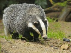 Crime gangs selling badgers for up to for baiting with dogs, fuelling high-stakes gambling Controversial cull feared to be fuelling secretive practice of setting the nocturnal animals on to dogs Baby Badger, Honey Badger, Badger Images, Fox Images, Pictures Images, Photos, Best Honey, Nocturnal Animals, Wild Animals