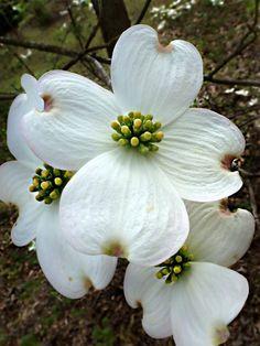 Cornus florida - Flowering Dogwood zone: 5 high and wide Dogwood Trees, Dogwood Flowers, Flowering Trees, White Flowers, Beautiful Flowers, Dogwood Flower Tattoos, Blossom Garden, Flower Pot Design, Flower Meanings