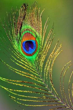 Birds ©: A Peacock Feather Birds Painting, Feather Wallpaper, Beautiful Nature Wallpaper, Peacock Feather Art, Art, Krishna Painting, Bird Art, Peacock Art