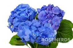 Wholesale Shocking Blue Hydrangea - 30 stems or more