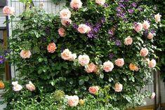 Clerotische Kombinationen - Seite 1 - Rund um die Rose - Mein schöner Garten online