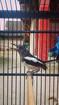 10 Ide Burung Kacer Burung Burung Sikatan Gelatik Batu